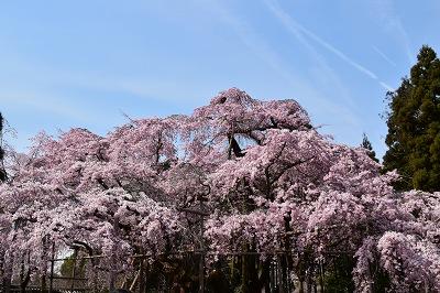 170405醍醐寺桜 (18)