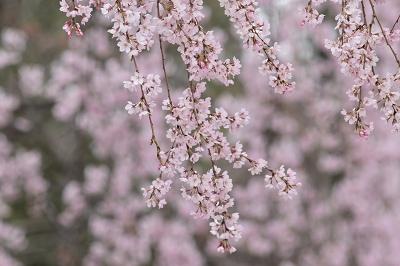 170405京都御苑桜 (4)