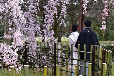 170405京都御苑桜 (5)