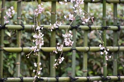 170405京都御苑桜 (6)