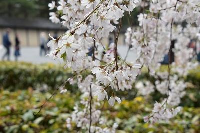 170405京都御苑桜 (10)