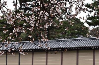 170405京都御苑山桜 (1)
