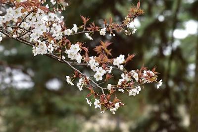 170405京都御苑山桜 (2)