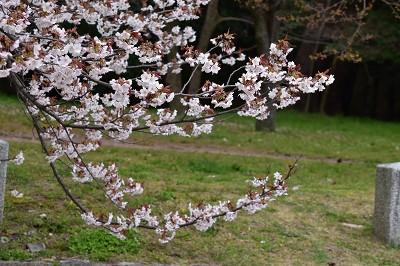 170405京都御苑山桜 (3)