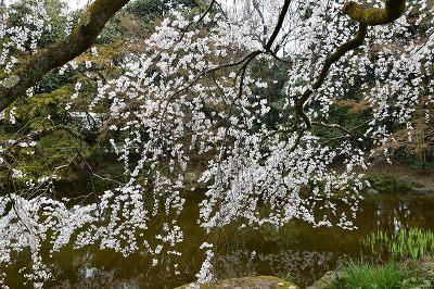 170405京都御苑池と桜 (1)