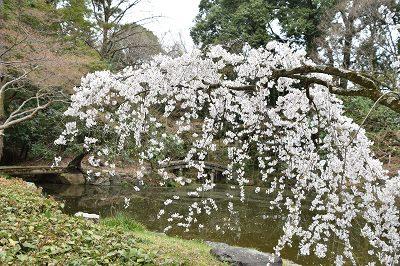170405京都御苑池と桜 (2)