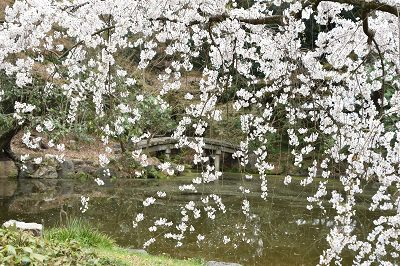 170405京都御苑池と桜 (3)