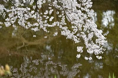 170405京都御苑池と桜 (5)