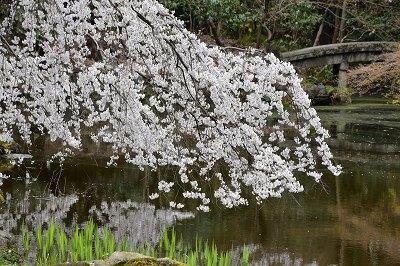 170405京都御苑池と桜 (6)
