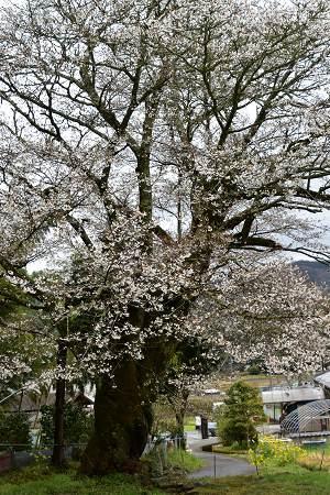 170410藍の舞い桜 (2)