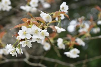 170410藍の舞い桜 (3)