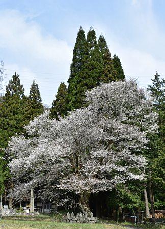 170410藍の舞い桜 (4)