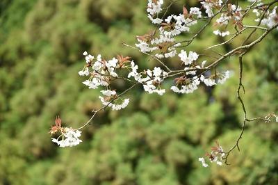 170410藍の舞い桜 (5)