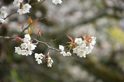 170410藍の舞い桜 (6)