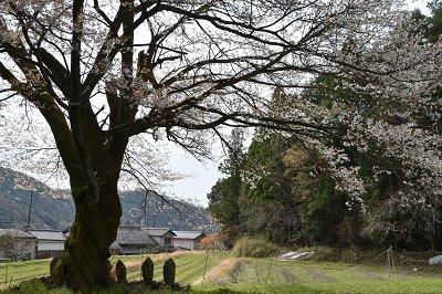 170410藍の舞い桜 (8)