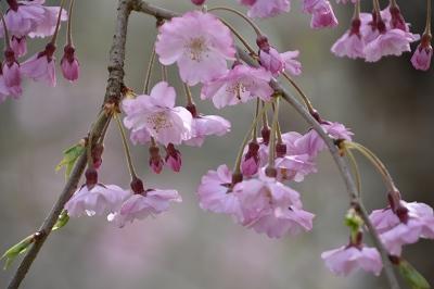 170410枝垂れ桜 (1)