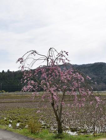 170410枝垂れ桜 (2)