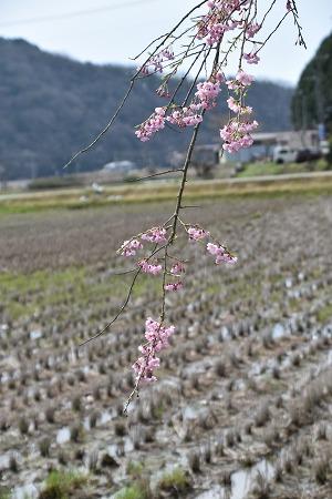 170410枝垂れ桜 (3)
