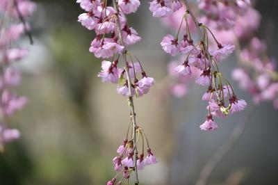 170410枝垂れ桜 (4)
