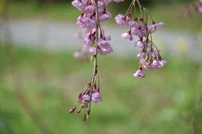 170410枝垂れ桜 (5)