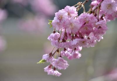 170410枝垂れ桜 (6)