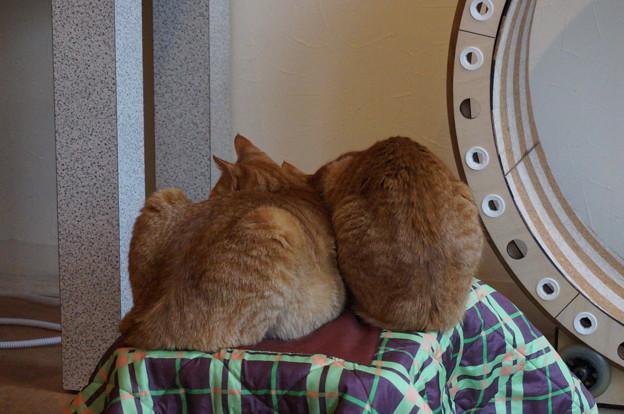 コタツの上の猫団子