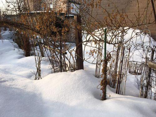 パルフェタムール冬囲いナシ越冬01