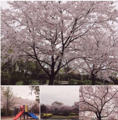 緑地公園 桜 花見 散歩