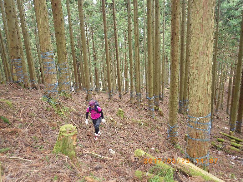 杉の植林帯
