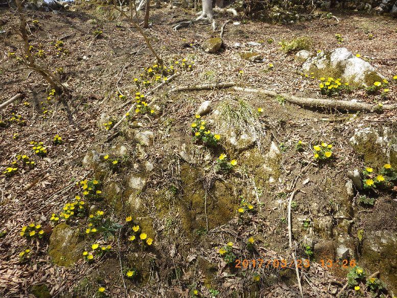 咲き乱れる福寿草