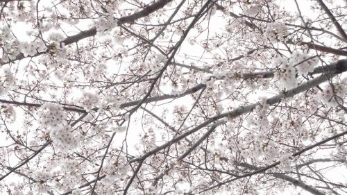 sakura0309_2017_5.jpg