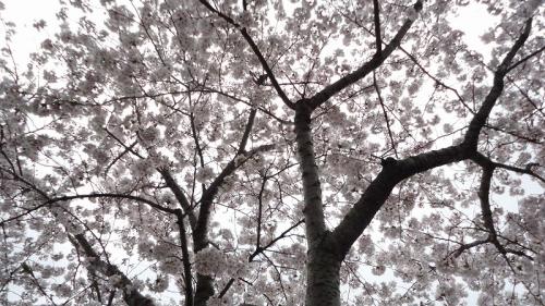 sakura0309_2017_8.jpg