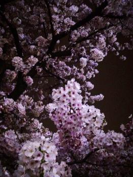 桜 しろもふ