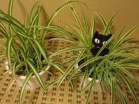 オリヅルランと黒猫