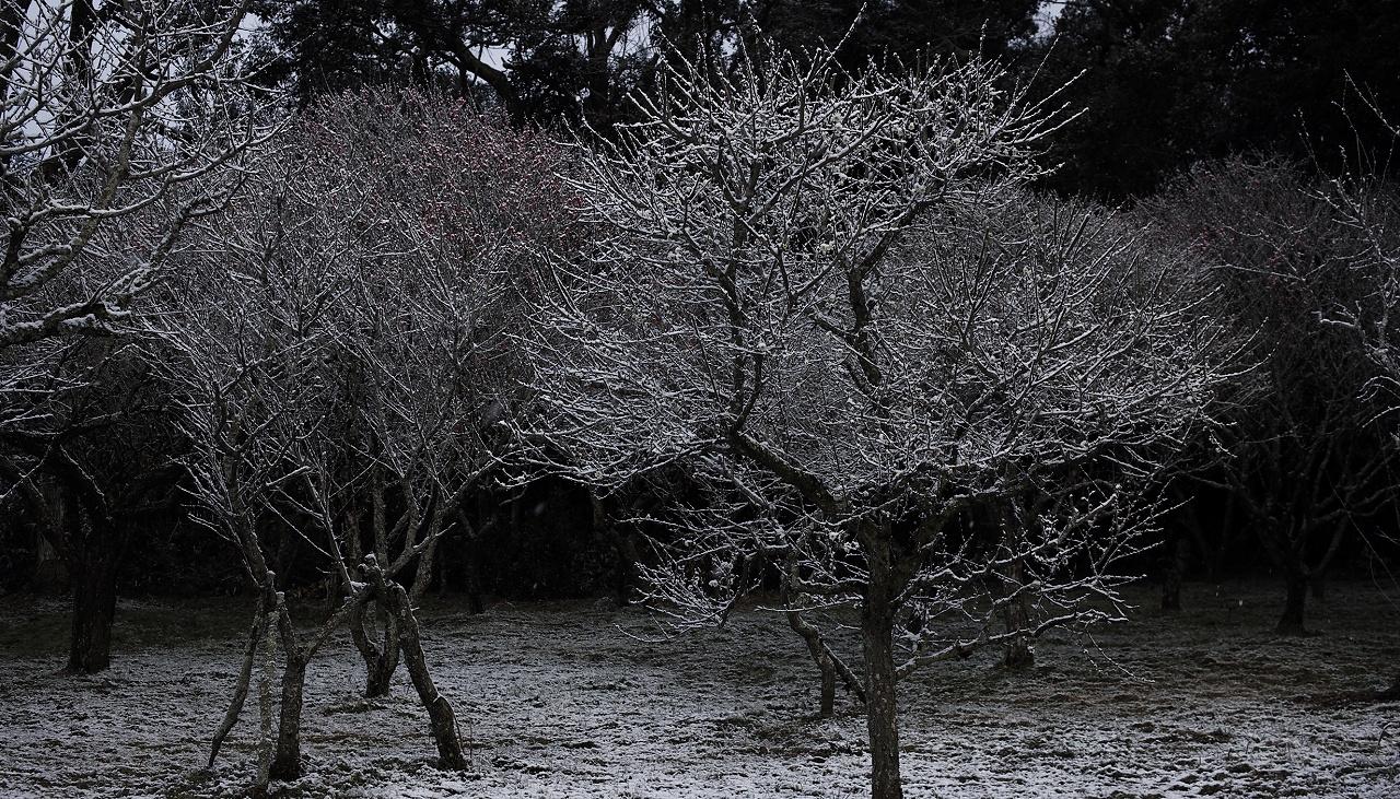 雪と梅01b