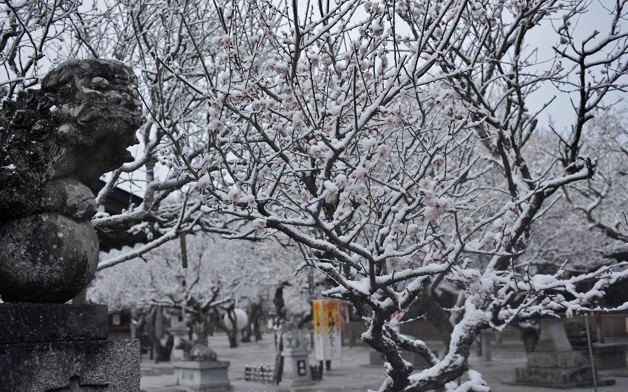 雪と梅08a