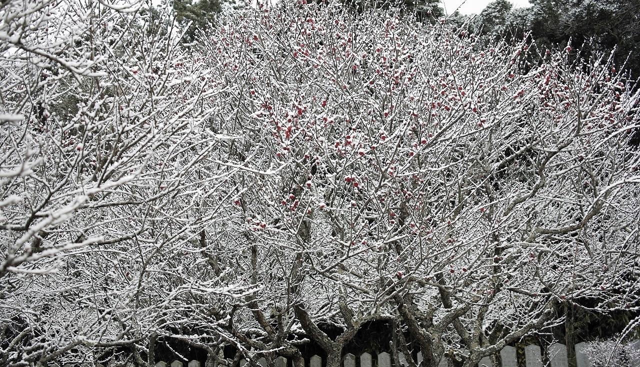 雪と紅梅10