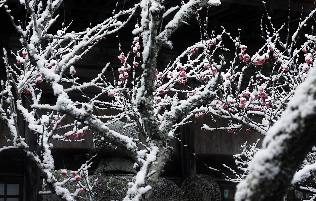 雪と紅梅12