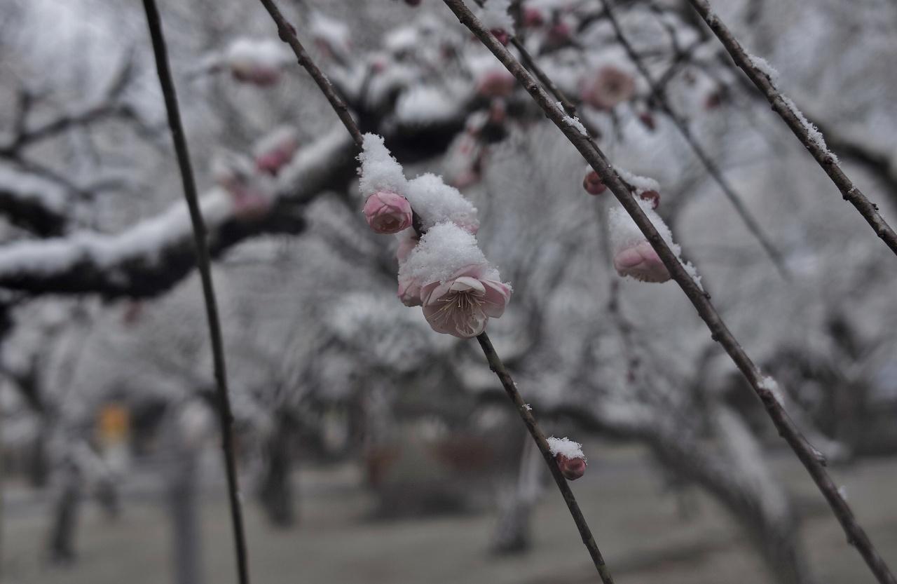 雪に梅一輪07