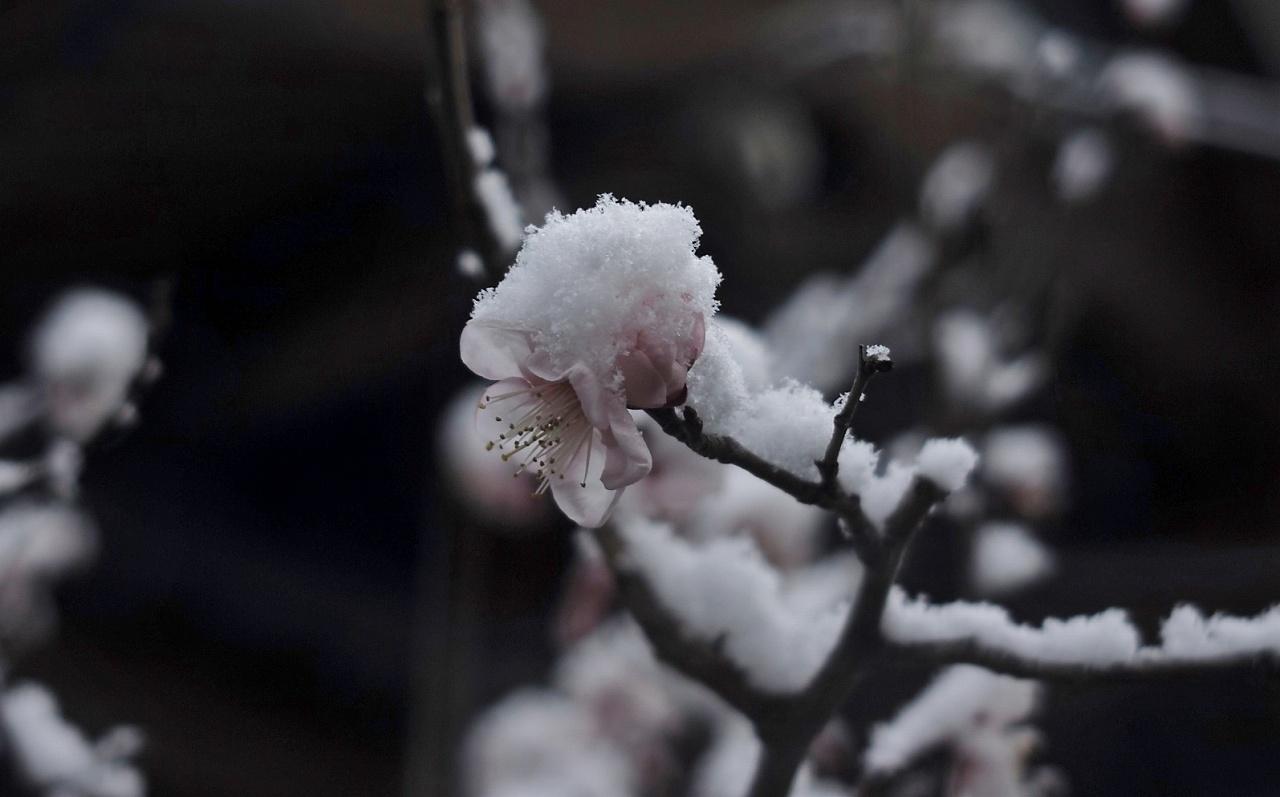 雪に梅一輪05