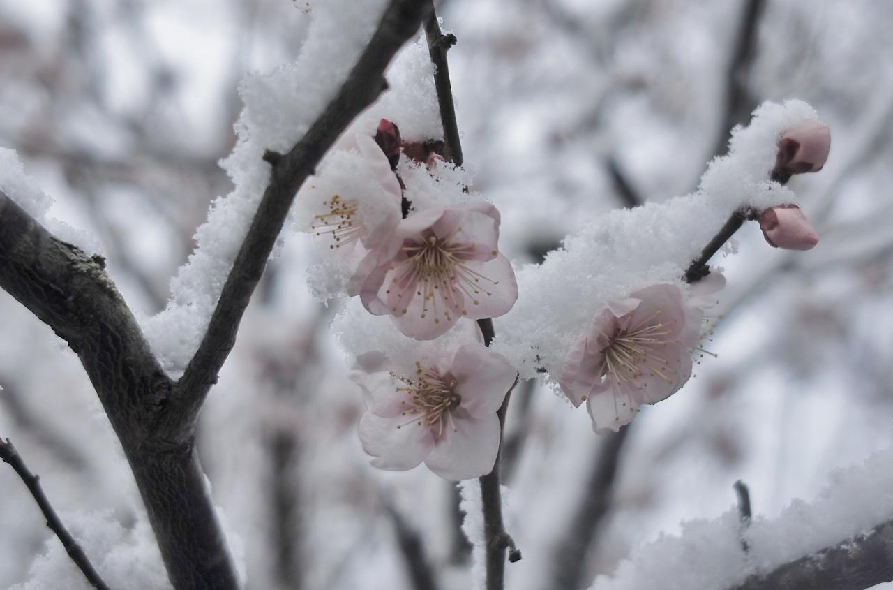 雪に梅一輪11