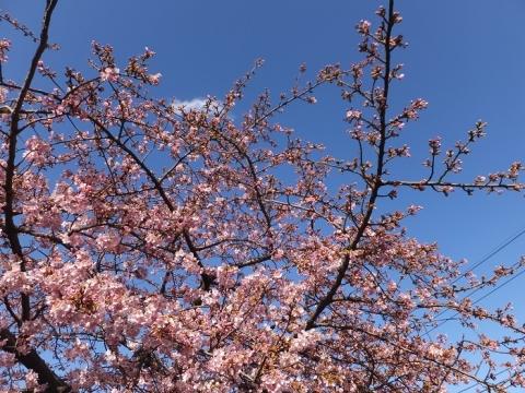 修行寺の河津桜