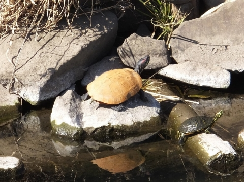 目久尻川の亀