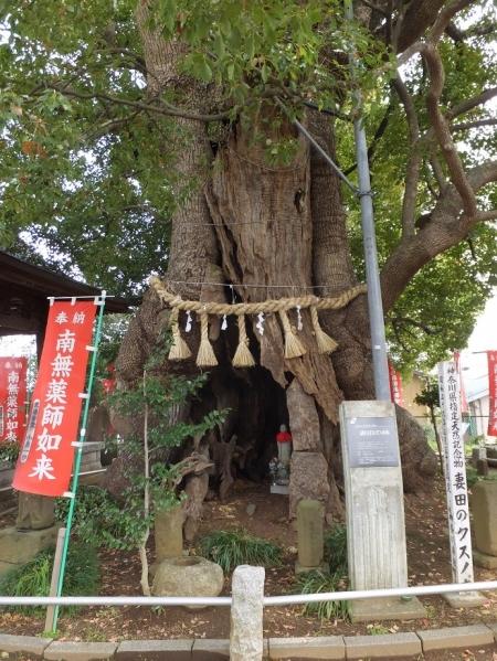 妻田薬師の楠木