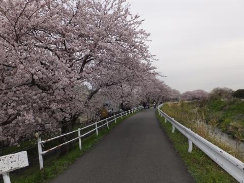 荻野川左岸の桜並木