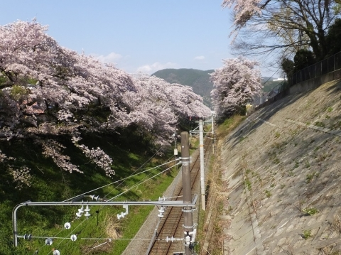 JR御殿場線山北駅付近の桜並木