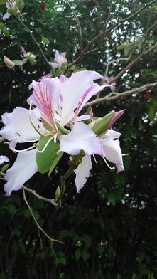 ホンコンオーキッドツリー1(S)
