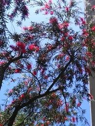 DSC_0293ブラシの木