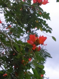 DSC_0048 (3)アフリカンチューリップツリー