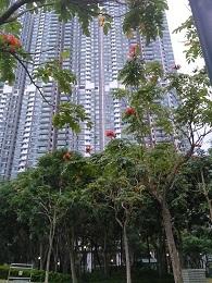 DSC_0049 (2)アフリカンチューリップツリー東涌